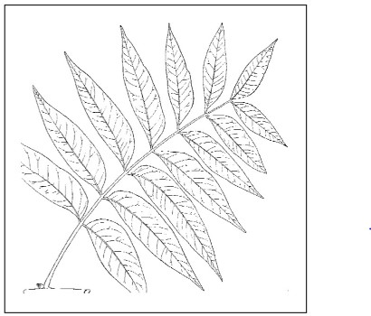 Attachment of leaflets to rachis