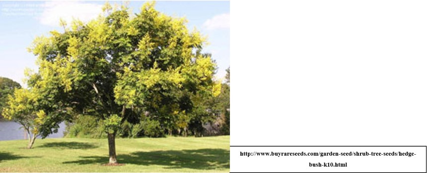 Goldenrain Tree University Of Redlands