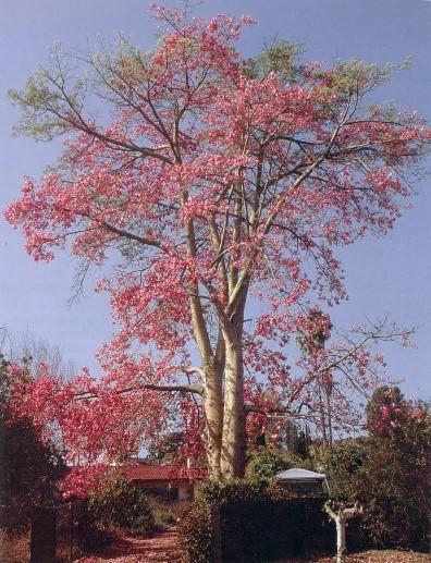 Silk Floss Tree University Of Redlands