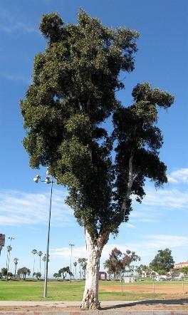 Cajeput Tree University Of Redlands