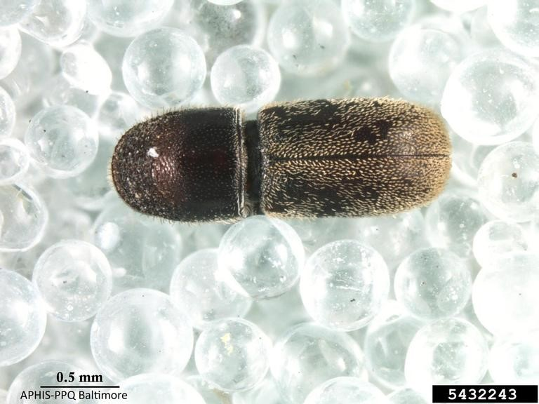 Bark Beetle adult.jpg