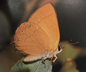 Golden hairstreak1.jpg