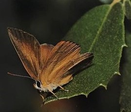 Golden hairstreak2.jpg
