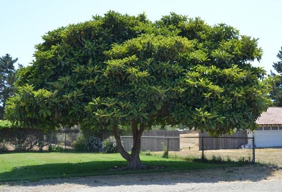Eriobotrya japonica Japanese Plum Loquat Pint Tree