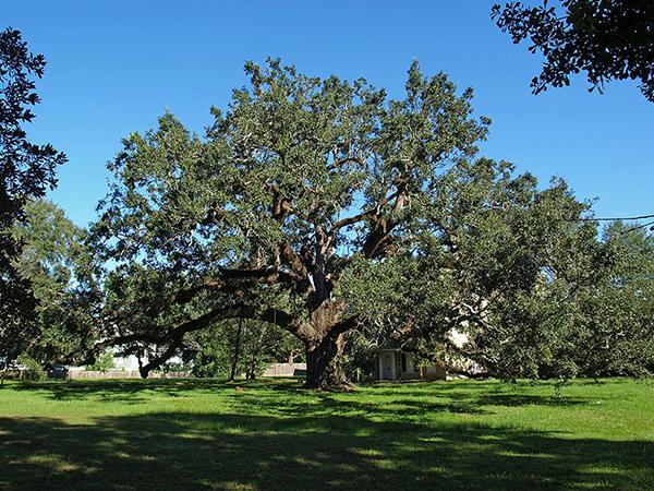 Southern Live Oak University Of Redlands