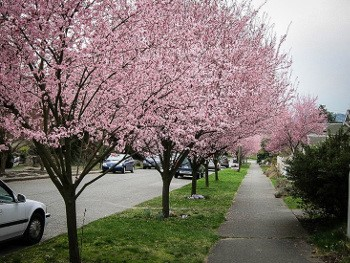 Cherry Plum University Of Redlands