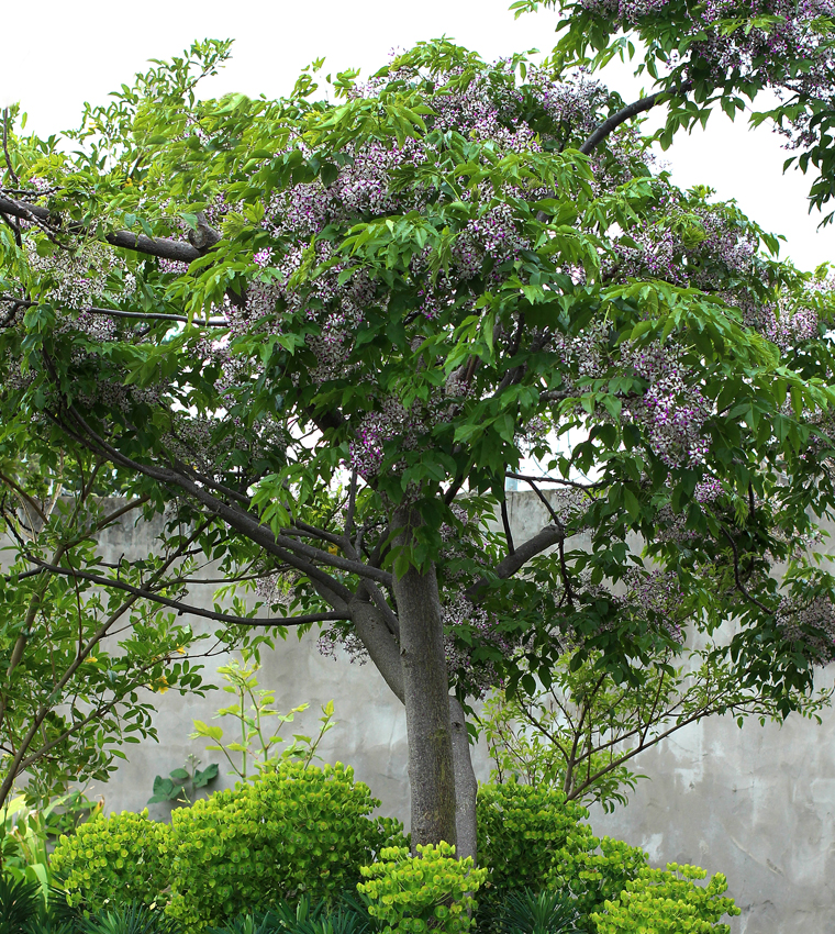 Chinaberry Tree in full bloom .png
